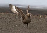 Displaying-Brown-Subantarctic-maybe-Skua-IMG_6756-Whalers-Bay-Deception-Island-South-Shetland-15-March-2011.jpg