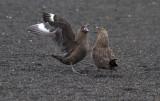 Skuas-fighting-IMG_7021-Whalers-Bay-15-March-2011.jpg