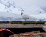 Snowy-Sheathbill-IMG_4427-Brown-Base-Argentina-13-March-2011.jpg