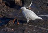 Pale-faced-Sheathbill-pulling-at-dead-Gentoo-chick-IMG_3654-Port-Lockroy-12-March-2011.jpg