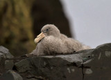 Southern-Giant-Petrel-chick-IMG_7481-Hannah-Point-Deception-Island-15-March-2011.jpg