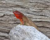 Espanola Lava Lizard