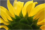 PAIRS_Sunflower Pattern_ClearyC.jpg