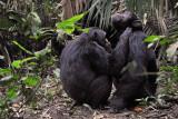 Chimps Grooming Kibale, 2011