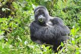 Hirwa Silverback Rwanda 2011