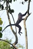 Mangabey Jump Uganda 2011