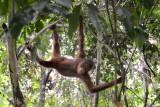 Orangutan 2 - Borneo