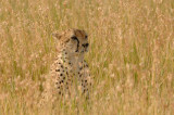 Cheetah 07a.jpg