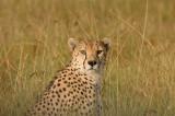 Cheetah 07c.jpg