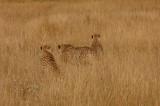 Cheetah 07e.jpg