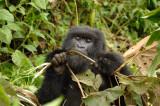 Gorillas07d.jpg