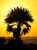 Palmier champignon
