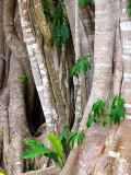 mangrove ou palétuviers