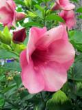 fleurs à corolle rose