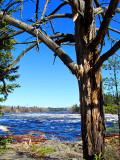 l'arbre mort devant la rivière