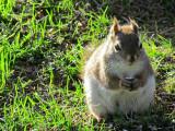 Le petit écureuil dodu