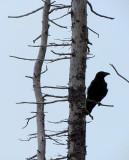 le corbeau à l'affut