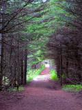 sentier sous les conifères