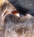 L'oeil mort de l'orignal