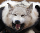 loup blanc enragé