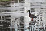 Malard marchant sur l'eau glacée
