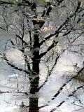 l'arbre au travers des glaces