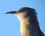 L'oiseau cubain