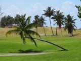 Cocotier penché sur green de golf