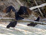 vautours dans la jungle