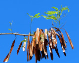 semences en rafales