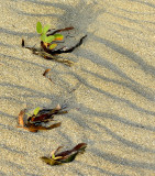 plantes de sable