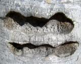 cicatrices sur tronc