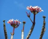 Fleurs roses de frangipanier