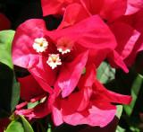 Les fleurs blanches des bougainvilliers