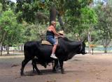 le taureau noir