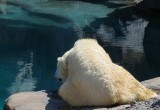 l'ours se mirant dans l'eau