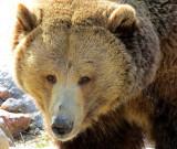 Grizzli  approchant