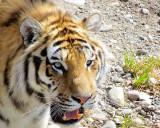 gueule de tigre