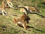 chèvres de mongolie