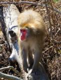 Macaque sur la souche