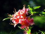arbre à fleurs roses