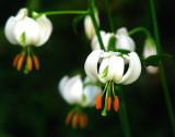soucoupes volantes / flower ufo