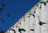 pigeons blancs bleus
