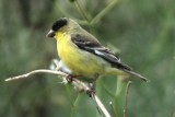 Lesser Goldfinch (ad male, green-backed form)