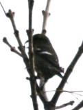 White-winged Crossbill (ad fem)