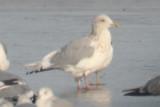 Gulls at Lake Loveland, 28 December 2011