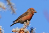 Red Crossbill (adult male)