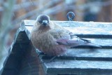 Brown-capped Rosy-Finch  (Ad female)