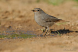 Black Redstart.(female)
