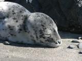 Seal pup on Brookings beach